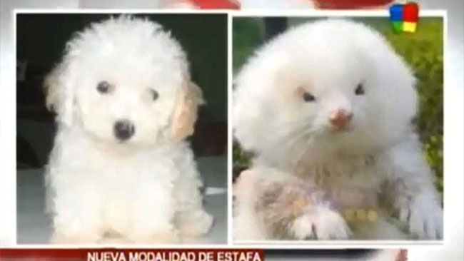 ferrets on steroids as toy poodles