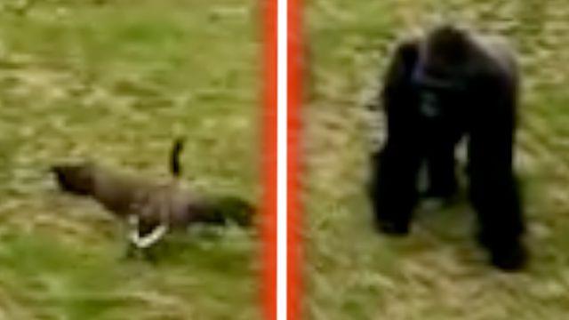 Goose Vs Gorilla - video