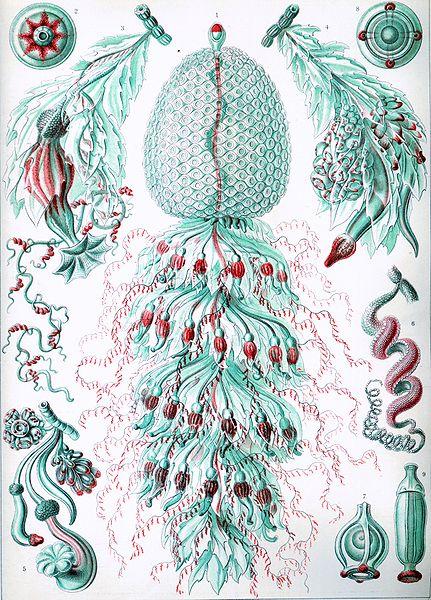 Haeckel Siphonophorae 2