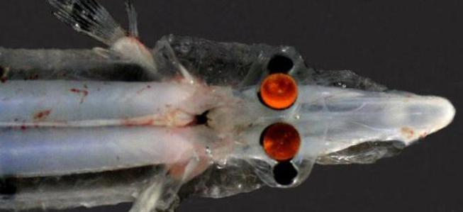 Javelin Spookfish