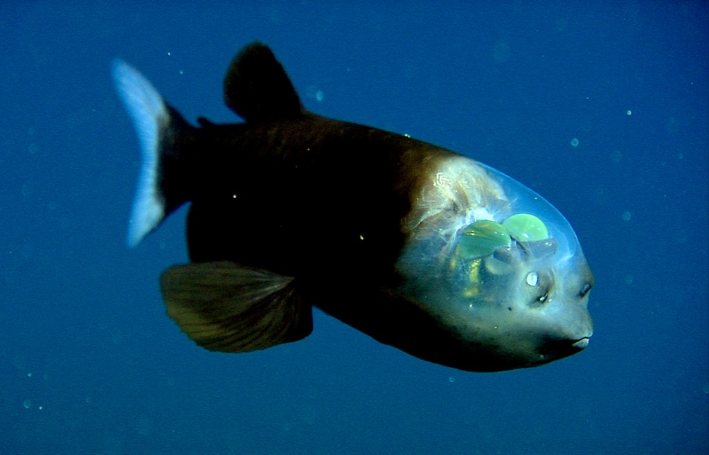Pacific Barrel Eye