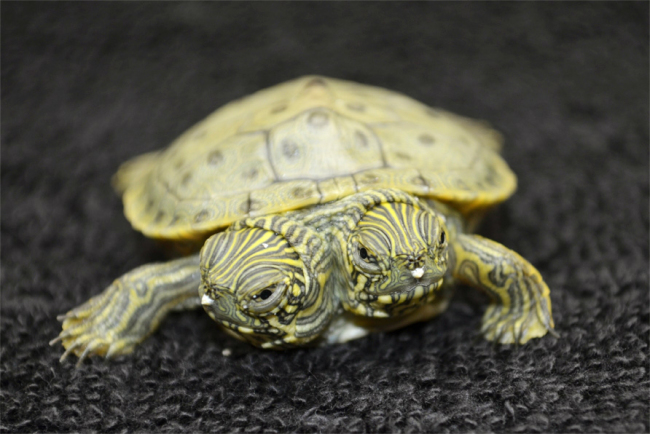 Two Headed Animal - Thelma And Louise - Terrapin - Turtle
