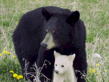 Albino Animals - Baby Bear