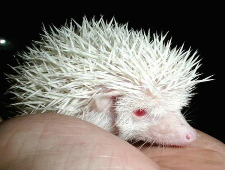 Albino Animals - Hedgehog