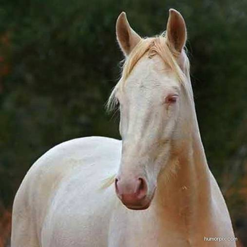 Albino Animals - Horse
