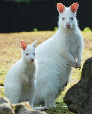 Albino Animals - Kangaroo