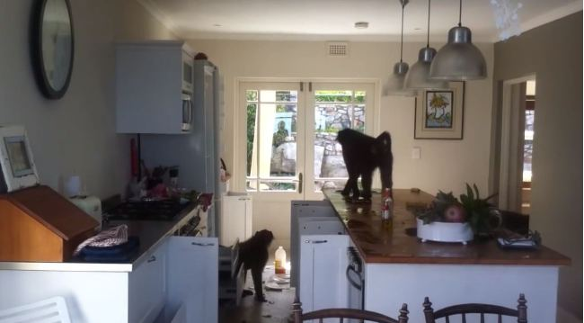 Baboons Ruining South African Kitchen Betty Bay