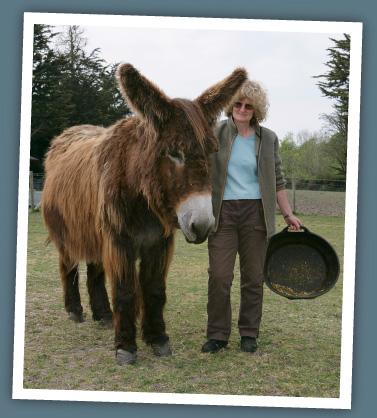 Baudet de Poitou donkeys - New Forest