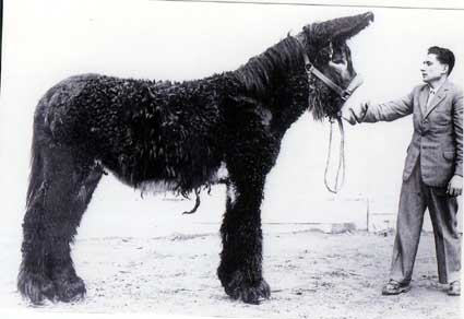 Baudet de Poitou donkeys - Old Photo