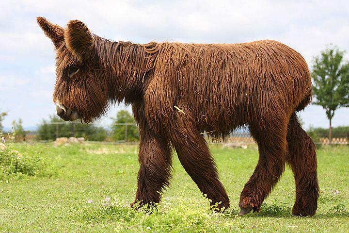 Baudet de Poitou donkeys - reintroduction - chewbacca