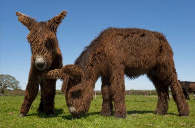 Baudet de Poitou donkeys - reintroduction - CHEWBACCA DONKEY