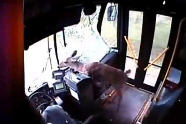 Deer-crashes-through-bus-windscreen