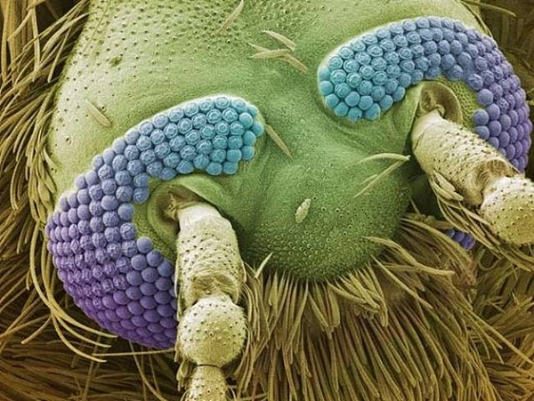 Electron Microscope Images - Every Day Objects - Mosquito Head