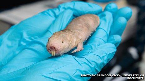 Naked Mole-Rat - Cancer Cure - Hyaluronan - Glove Photo