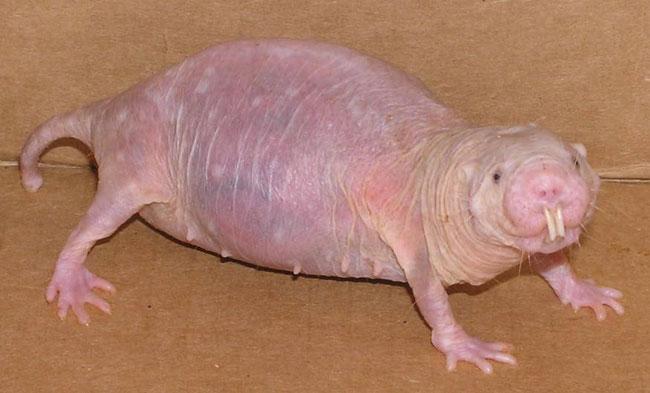 Naked Mole-Rat - Cancer Cure - Hyaluronan - Long Life