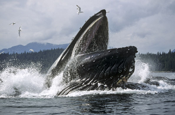 Humpback Whale Nearly Eats Divers
