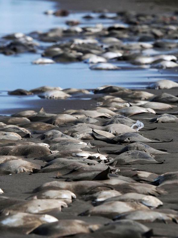 Hundreds of Stingray Bodies Mexico Veracruz Beach Danger