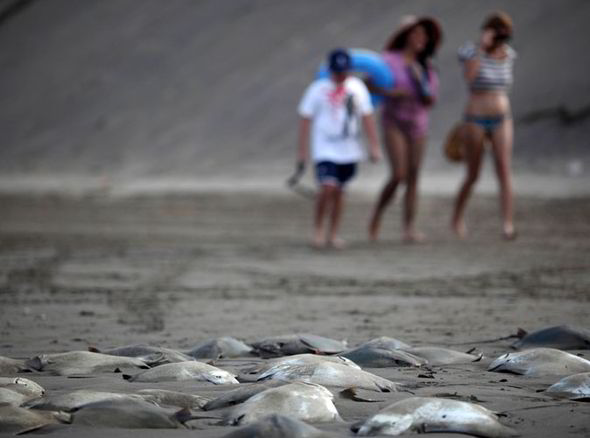 Hundreds of Stingray Bodies Mexico Veracruz Beach Fishermen