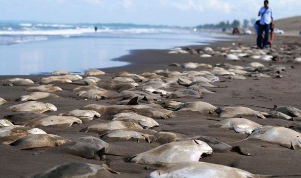 Hundreds of Stingray Bodies Mexico Veracruz Beach