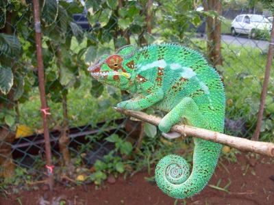 Reunion Island - French Paradise - Panther Chameleon