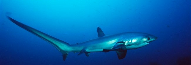 Thresher Shark - Plos One - Tail Whip Photo