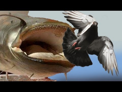 catfish hunts pigeon on land - freshwater killer whale