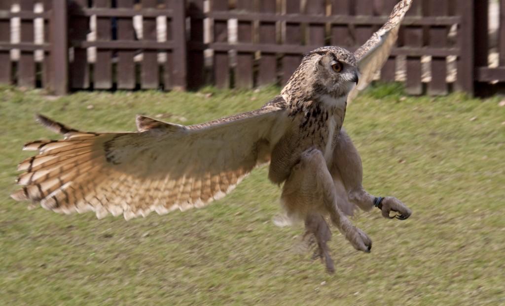 Eagle Owl - Falconry - medieval LARGE