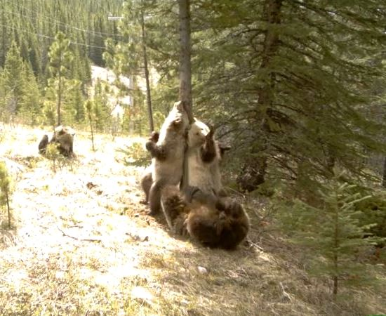 Group of bears pole dancing alberta parks wild