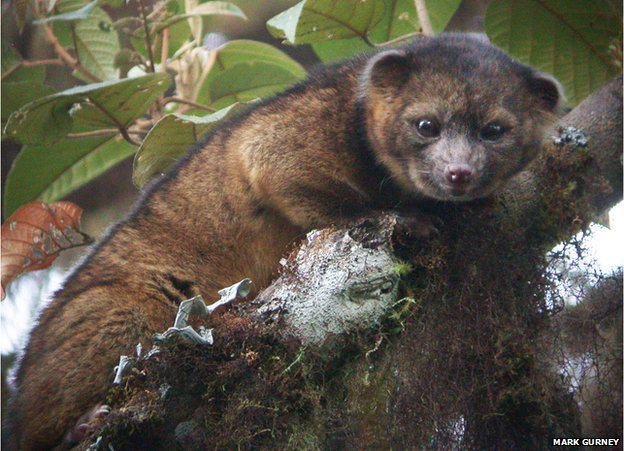 Olinguito - New species like raccoon 1