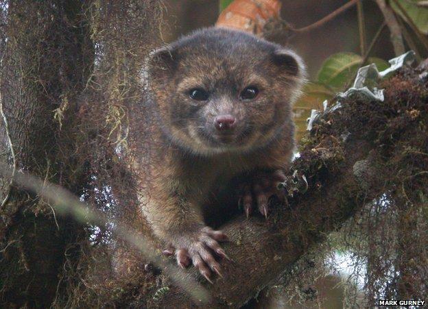 Olinguito - New species like raccoon 2