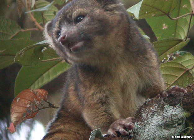 Olinguito - New species like raccoon 3
