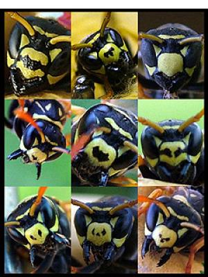 Paper Wasp Recognises Faces - Blotchy Face
