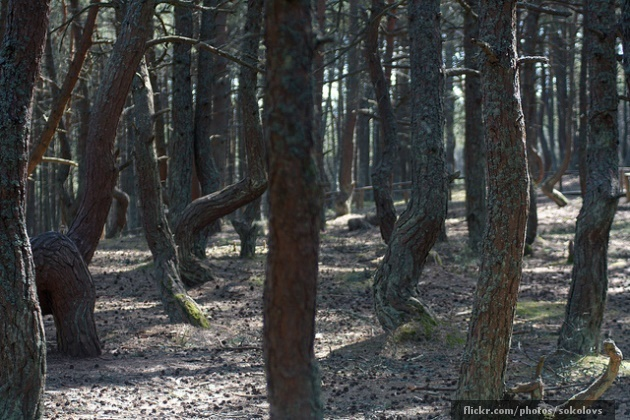 The Dancing Drunk Forest of Kaliningrad - Long Shot