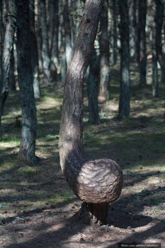 The Dancing Drunk Forest of Kaliningrad - Low down curl