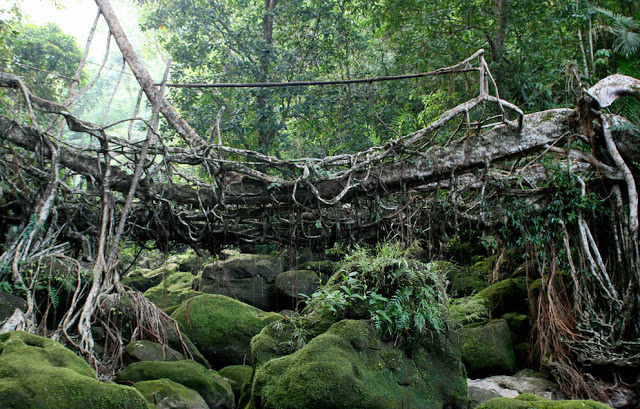 Arborsculpture - tree shaping - Tree root bridge - India