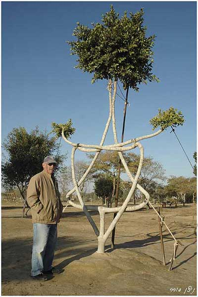 Arborsculpture - tree shaping - tree star