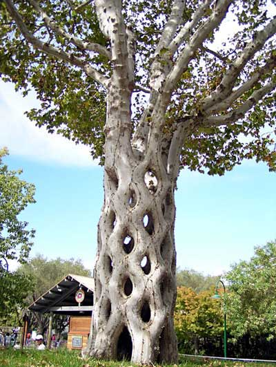 Arborsculpture - tree shaping - woven silver birch