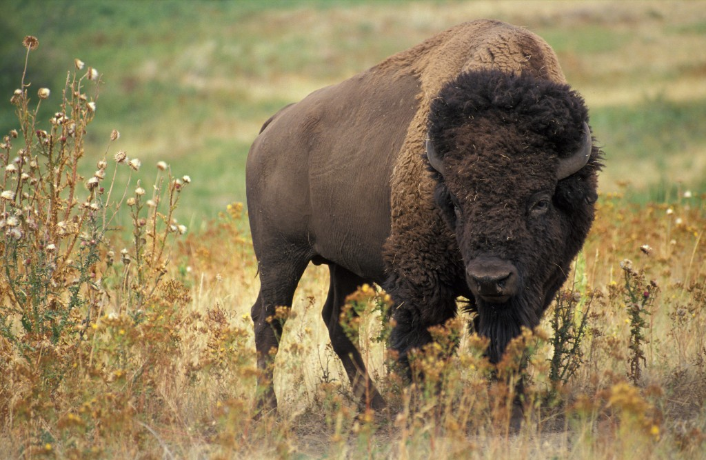 Bison - America - Yellowstone - Close Encounter Big