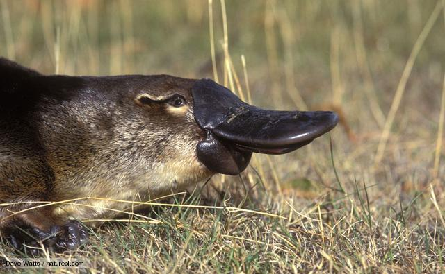 Duck billed platypus - weird animal - poisonous - close up