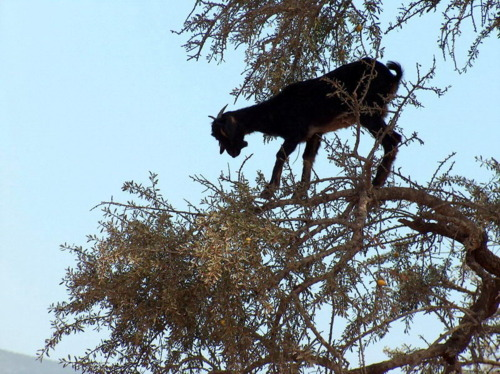 Goats In Weird Places - Goat In a Tree