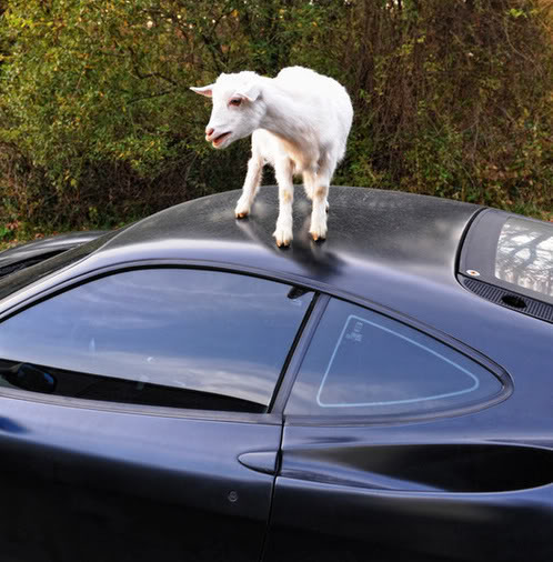 Goats In Weird Places - Goat On A Car