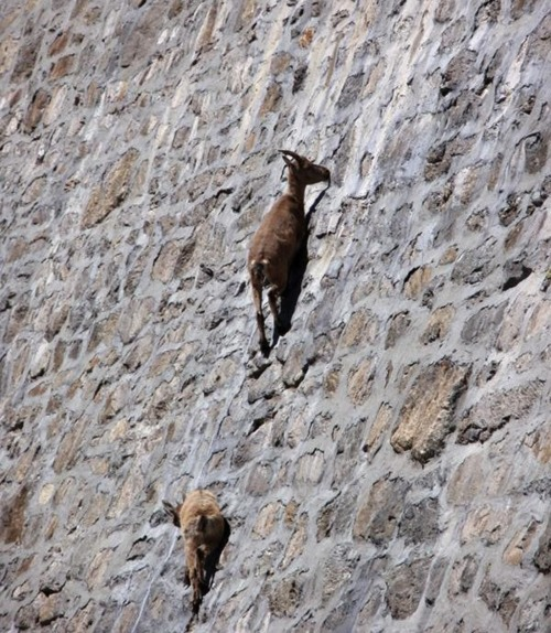 Goats In Weird Places - Goat On A Wall 2