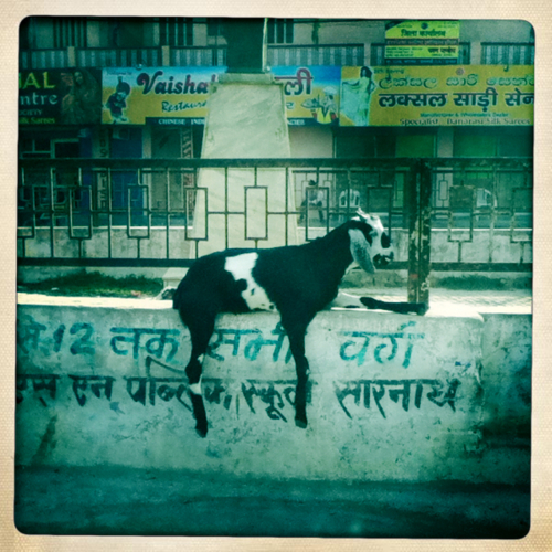 Goats In Weird Places - Goat On A Wall