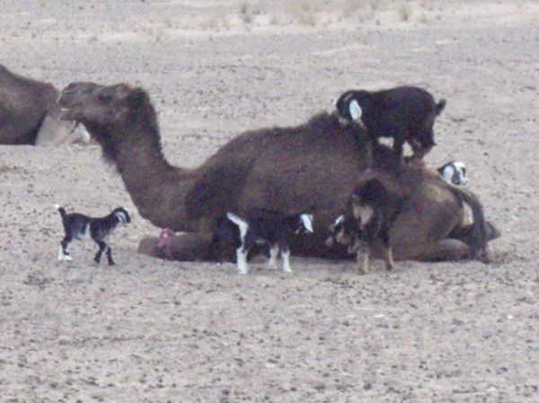 Goats In Weird Places - Goat On Camel