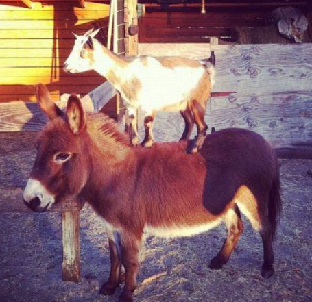 Goats In Weird Places - Goat On Donkey