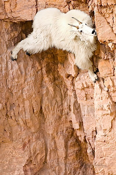 Goat On Cliff - Werid Place