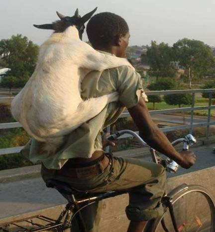 Goats In Weird Places - Goat on a Bike