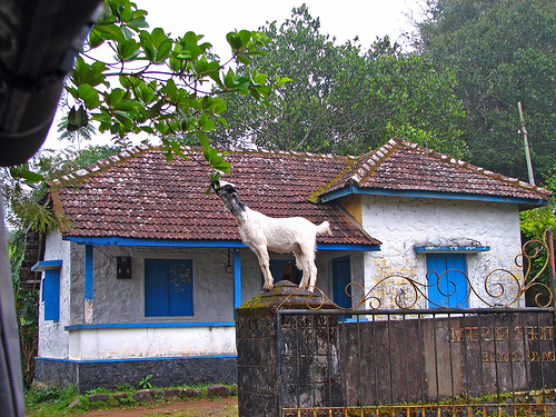 Goats In Weird Places - Goat on a Gate Post