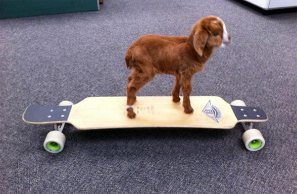 Goats In Weird Places - Goat on a Skateboard