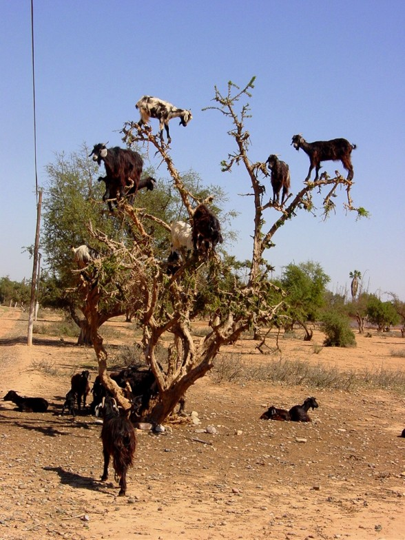 Goats In Weird Places - Goats In a Tree